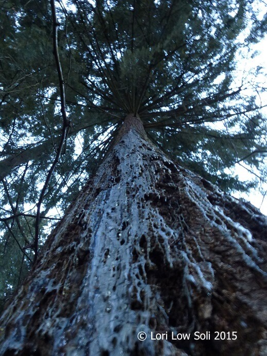 The Grandmother Tree copyright
